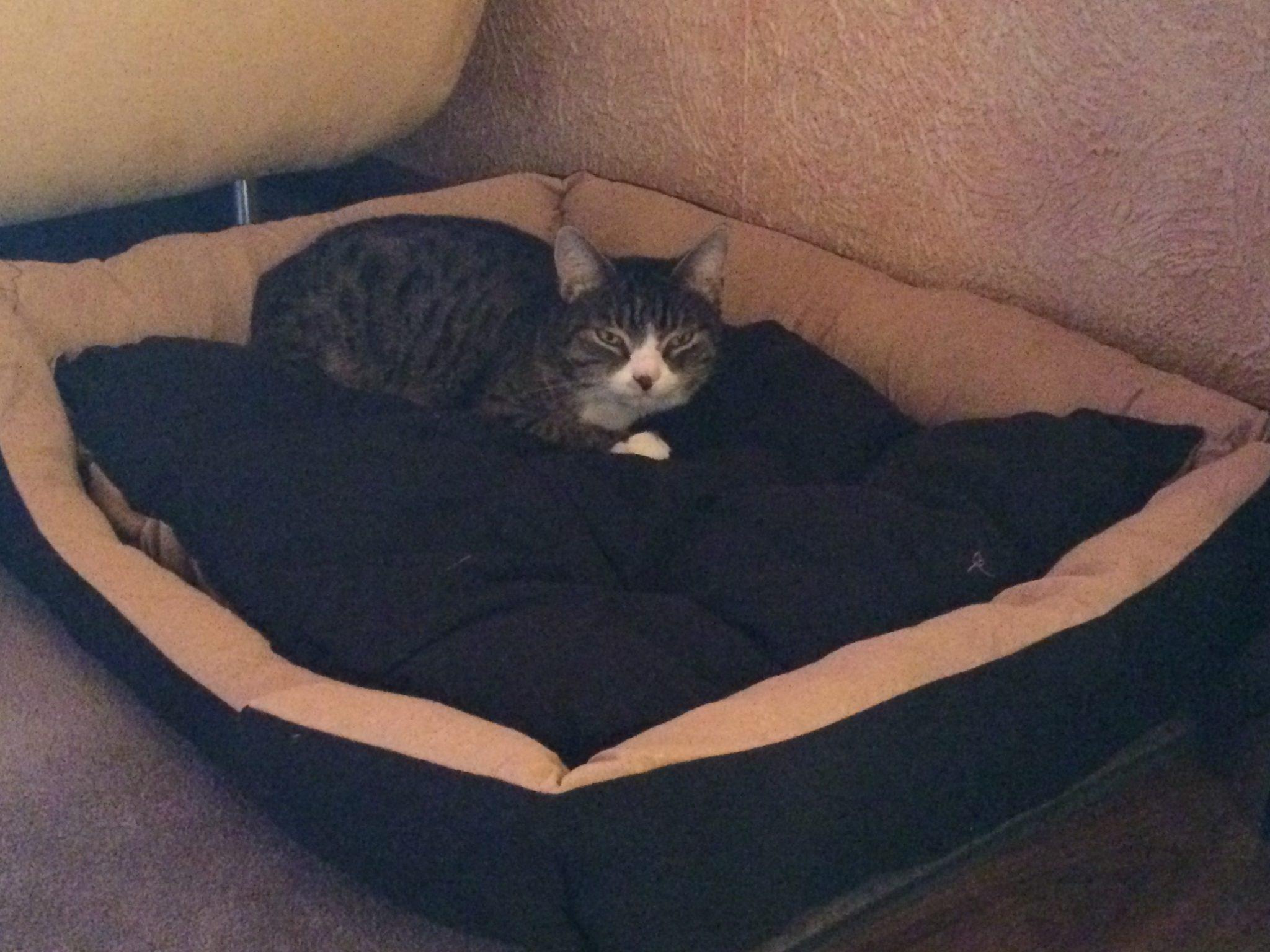 Katze in großem Hundebett