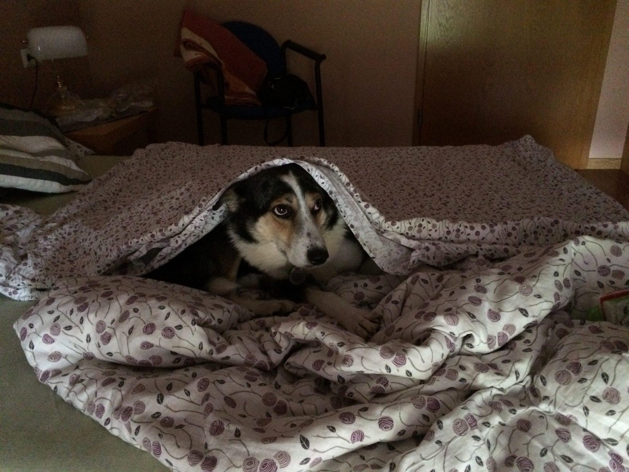 Hund im Bett unter Bettdecke