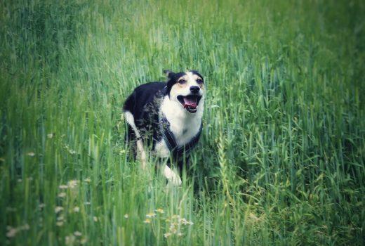 Hund rennt auf Wiese