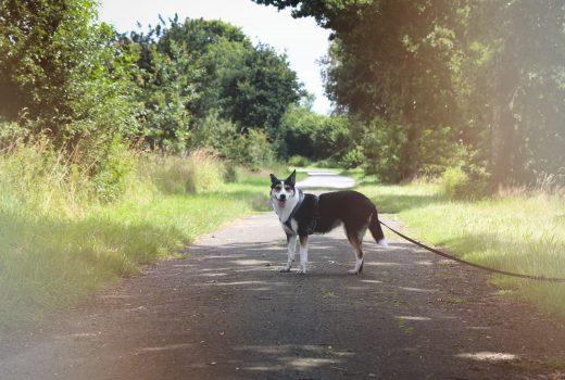 Hund steht auf Weg