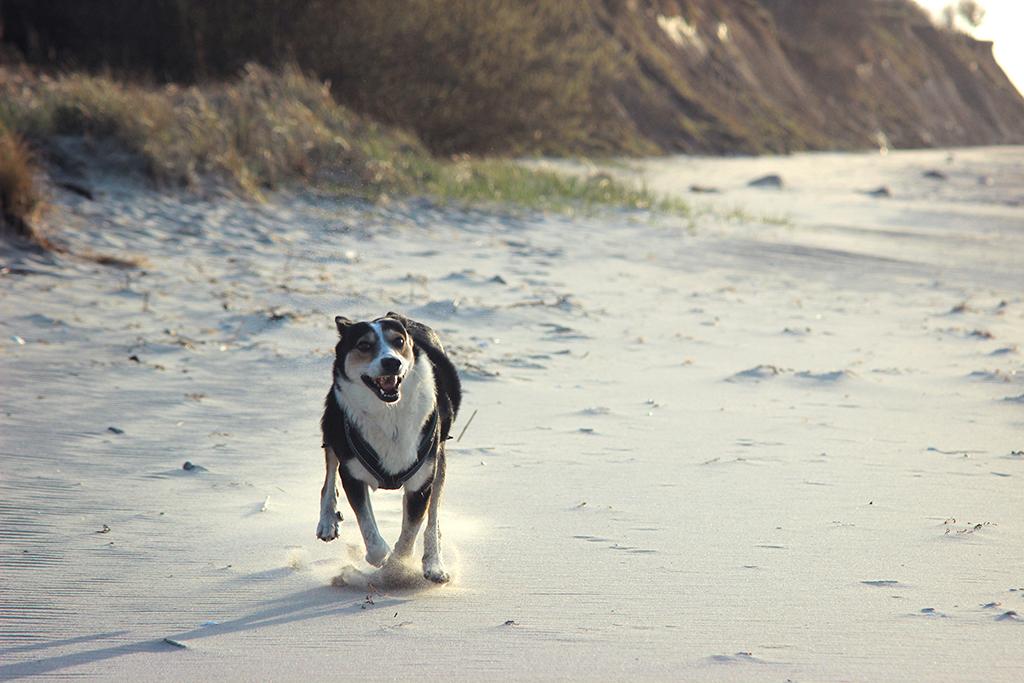 Hund rennt über Strand