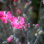 Pinke Nelkenblüten